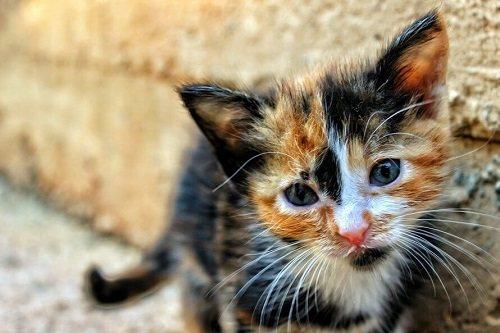 tả con mèo tam thể