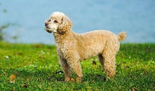 Chó Toy Poodle
