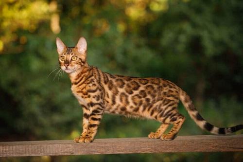 Giống mèo Ashera nằm trong top 5 giống mèo đắt tiền nhất thế giới.