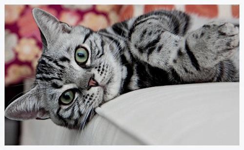 MÈèo Mỹ lông ngắn