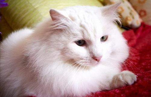 mèo angora thổ nhĩ kỳ ăn gi