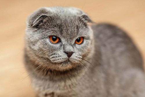 giống mèo scottish dễ thương nhất