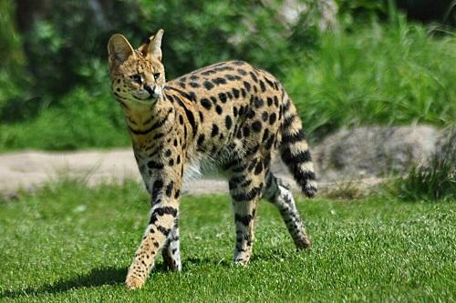 mèo savannah ở việt nam