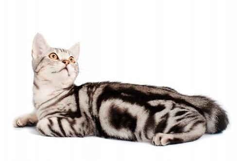 mèo mỹ lông ngắn giá bao nhiêu