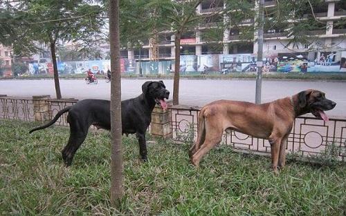 Chó Great Dane giá bán bao nhiêu tiền? Mua, Bán ở đâu Hà Nội, Tp Hcm