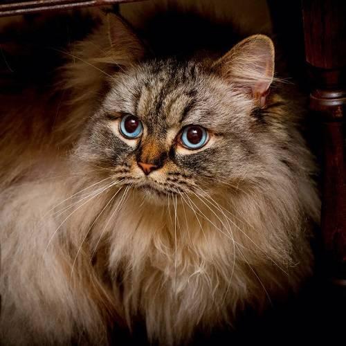 bán mèo anh lông dài tại hà nội