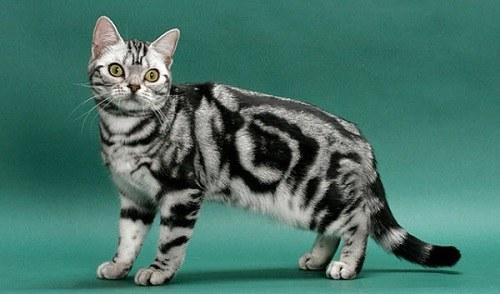 Mèo Mỹ lông ngắn giá bao nhiêu?