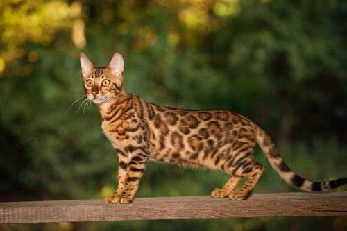 giá mèo rừng