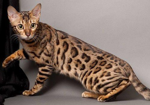 bán mèo rừng giá rẻ