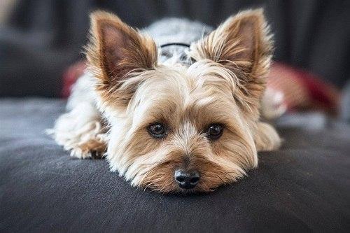 sức khỏe giống chó sục Yorkshire Terrier