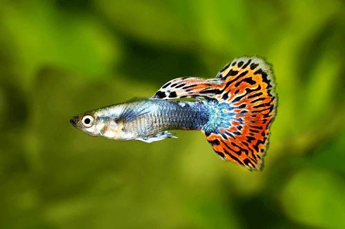 cá bảy màu rồng