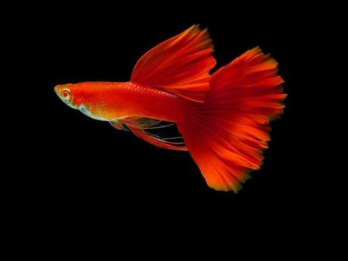 Cá bảy màu Thái Lan