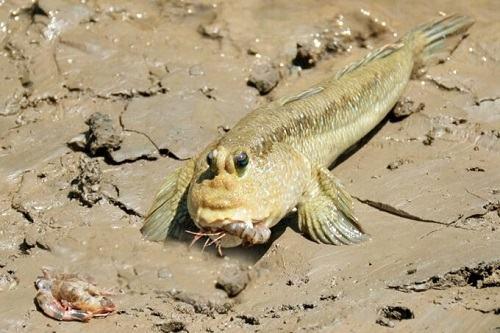 cá lác sống ở đâu