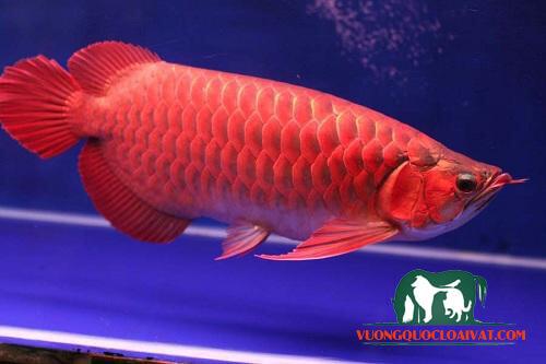 cá rồng đỏ