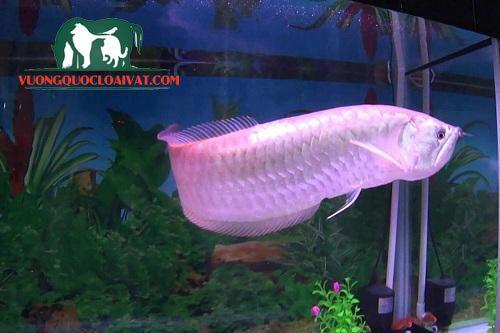 Cá rồng Ngân Long Albino