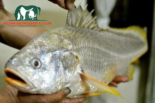 cá sủ vàng dùng để làm gì