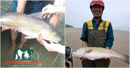 cá sủ vàng tại sao đắt