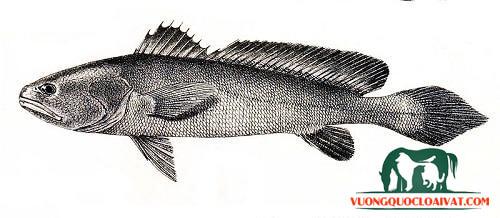 cá sủ vàng