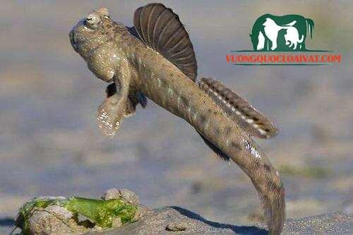 cá thòi lòi biển