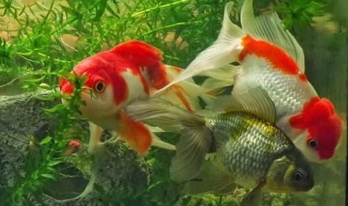 cá vàng sinh sản thế nào