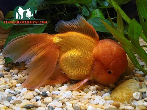 cá vàng oranda
