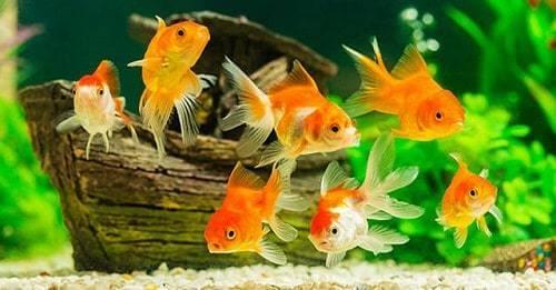 lưu ý khi cá vàng đẻ trứng