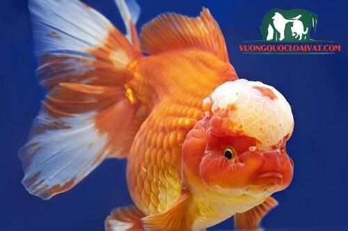 cá vàng lưu kim