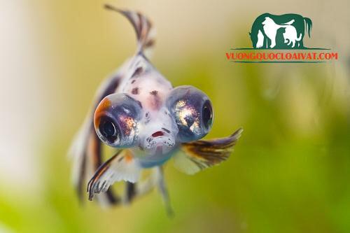 cá vàng mắt lồi