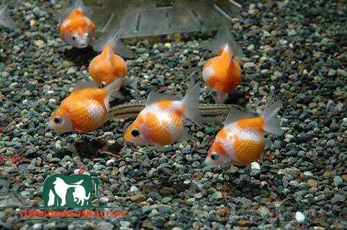 cá vàng ping pong