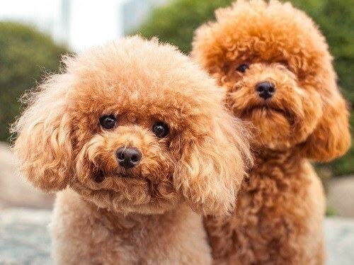 cách chọn mua chó lông xù