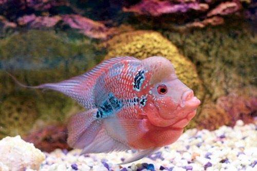 cách làm cá la hán lên màu