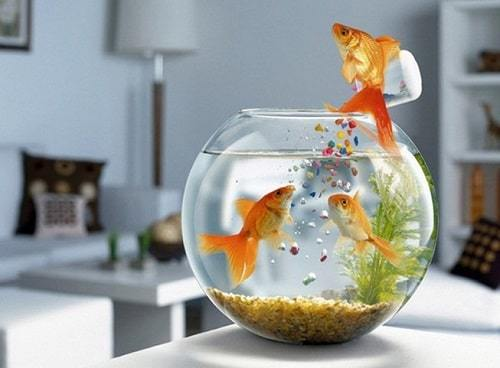 cách chọn mua cá vàng