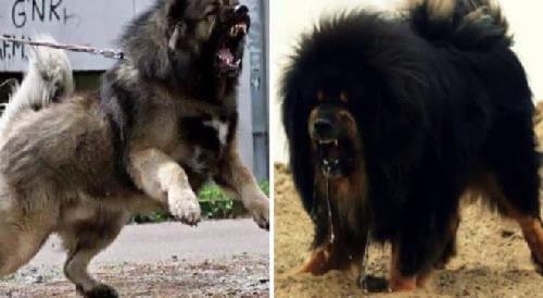 Cách phân biệt Chó Caucasus vs Ngao Tây Tạng