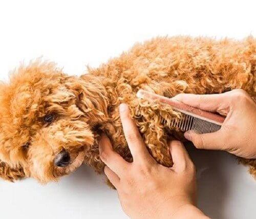 Cách vệ sinh lông cho chó bông xù