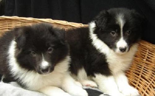 cachorros-border-collie