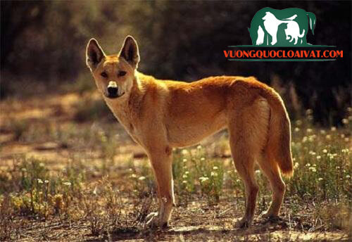 chó dingo
