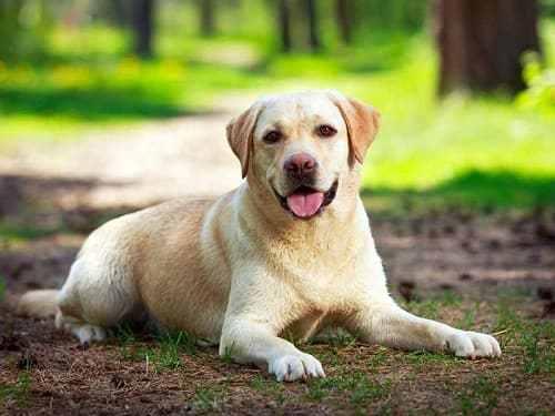 chó đặc nhiệm Labrador