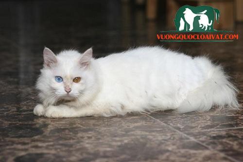 con mèo trắng