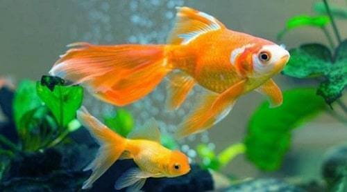 ghép đôi cá vàng sinh sản