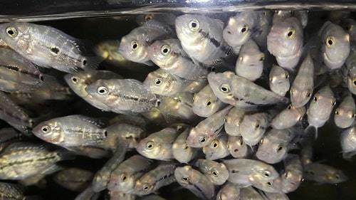 giá bán cá la hán bột