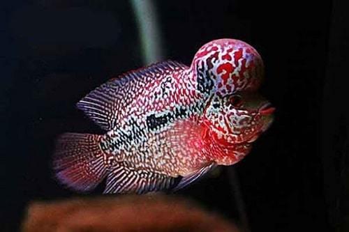 Giá mua cá La Hán
