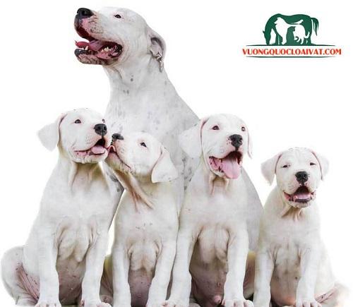 bán chó dogo argentino hcm