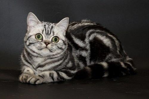 bán mèo mỹ lông ngắn