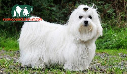 bán chó maltese