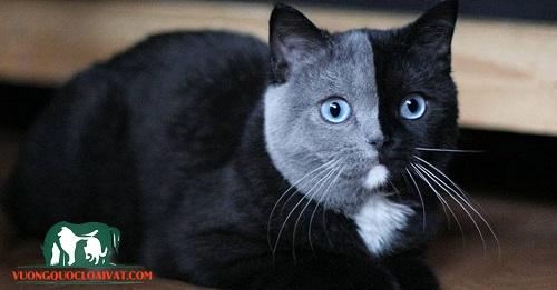 mèo đen tuyền