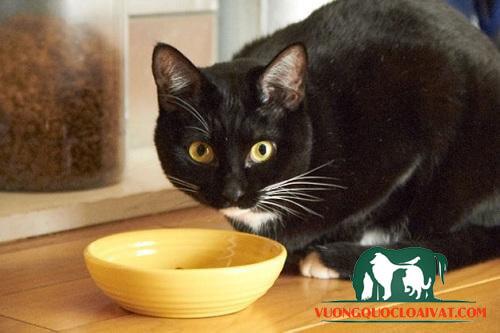 mèo đen mắt xanh