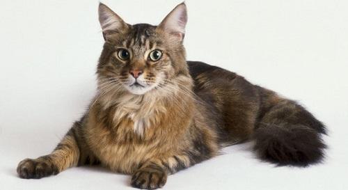 Mèo Maine Coon- Loài tiểu hổ khổng lồ và những đặc điểm kỳ thú ...