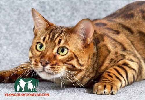 mèo bengal giá bao nhiêu