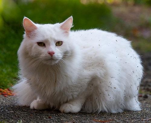 mèo-angora-co-mau-gi