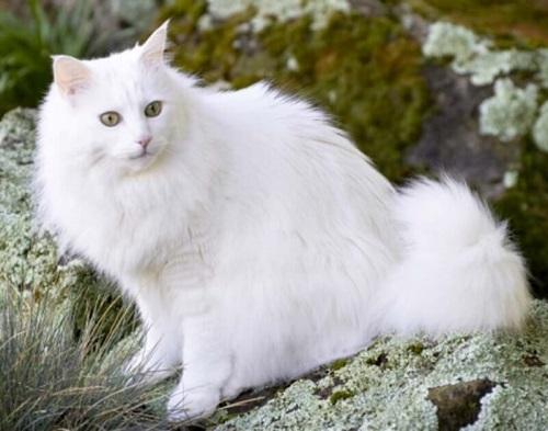 mèo angora lông trắng
